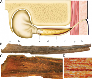 """Illustration of a blue whale earplug. (A) Schematic diagram showing the location of the earplug within the ear canal: (a) whale skull, (b) tympanic bulla, (c) pars flaccida/tympanic membrane (""""glove finger""""), (d) cerumen (earplug), (e) external auditory meatus, (f) auditory canal, (g) muscle tissue, (h) blubber tissue, and (i) epidermis. (B) Extracted blue whale earplug; total length 25.4 cm. (C) Earplug longitudinal cross-section. (D) View (20x) or earplug cross-section showing discrete laminae. (Trumble et al. 2013)"""