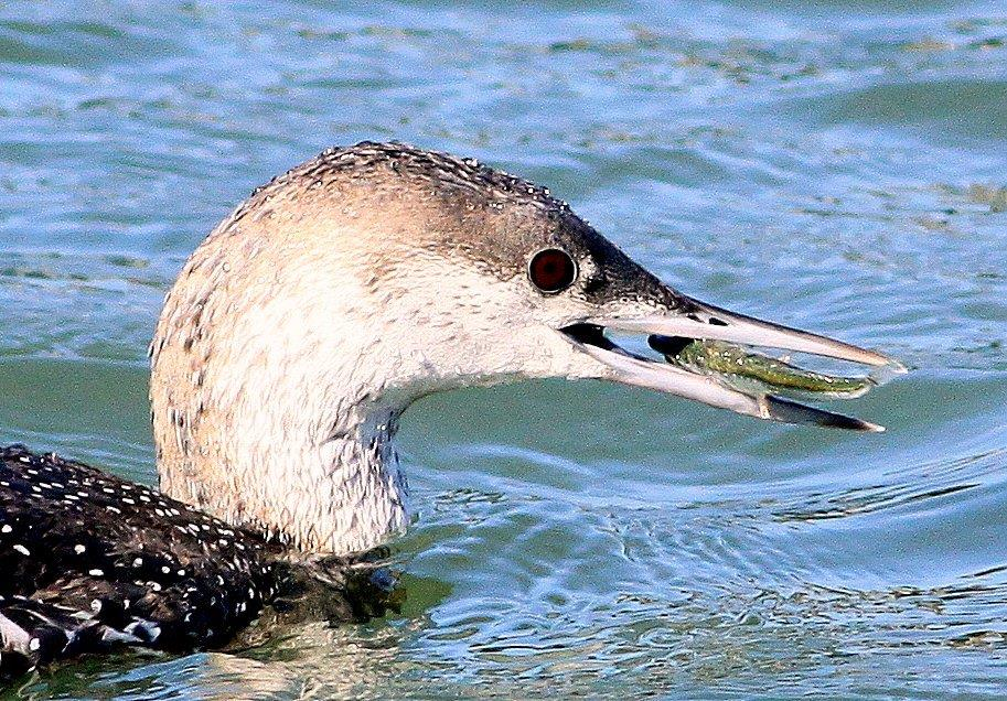 A common loon feeding. If food sources are polluted, toxic levels of chemicals can bioaccumulate the tissue of top predators. Picture by Bob Weaver.