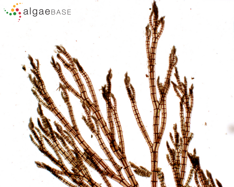 Growing Like a Seaweed: How ocean acidification is aiding the growth and expansion of macroalgae.