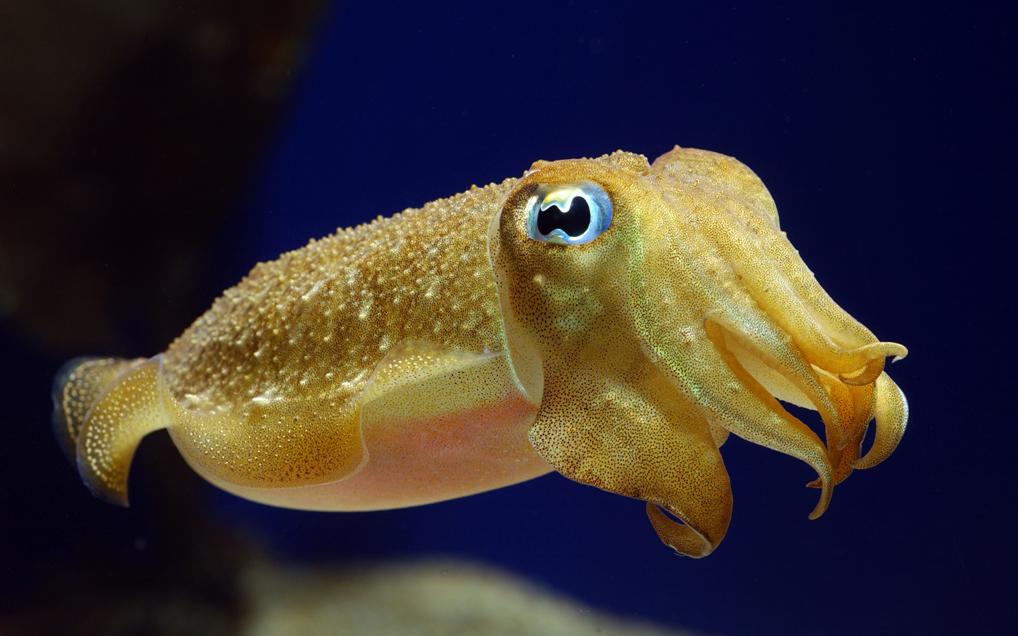 Cuttlefish camouflage a new method for studying the for Cool saltwater fish