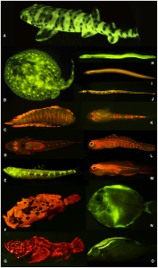 Figure 3:  Diversity of fluorescent patterns and colors in marine fishes. A, swell shark; B, ray; C, sole; D, flathead; E, lizardfish; F, frogfish; G, false stonefish; H, false moray eel; I, false moray eel; J, pipefish; K, sand stargazer; L, goby; M, goby; N, surgeonfish; O, threadfin bream.