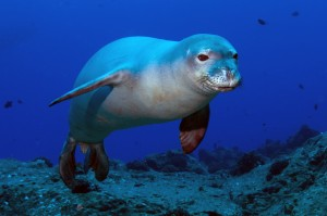 Endangered Hawaiian monk seal, a top predator that could feed on tainted reef fish