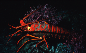 Fig 3: Spiny Lobster, a common urchin predator.