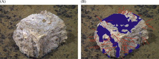 Figure 4: A) A whale bone with a bacterial mat and Osedax.B) The same image, but blue denotes where the bacterial mat covers and red shows Osedax.