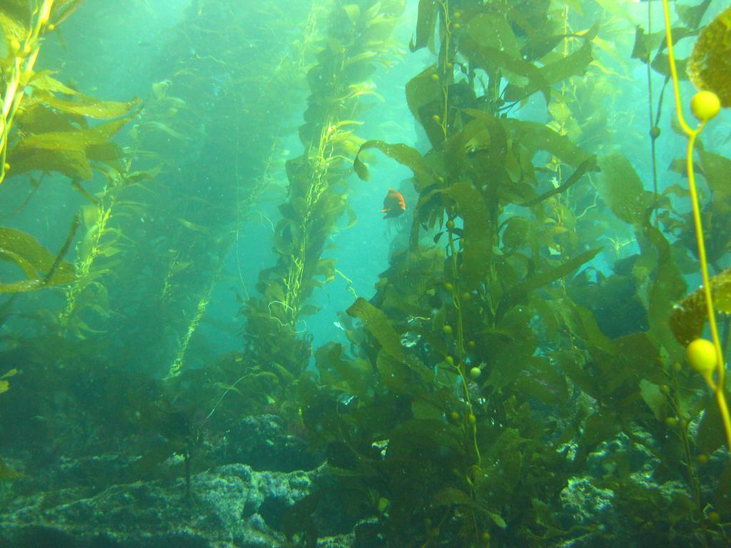 Picky Eaters: how the feeding preference of lobsters may be slowing the return of California kelp forests.