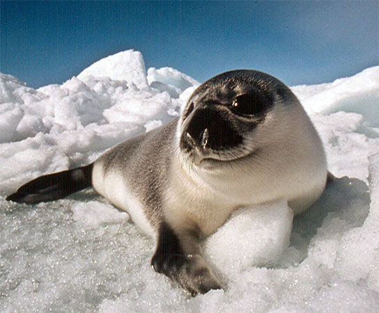 Hooded seals of the Greenland Sea