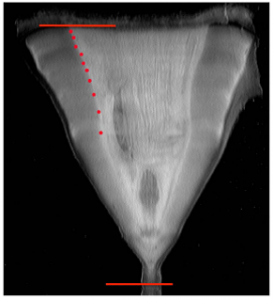 Figure 1: Vertebrae.  Visible growth bands marked by red dots. The line represents the vertebral radius (16.6 mm) doi: 10.1371/journal.pone.00846006.g001