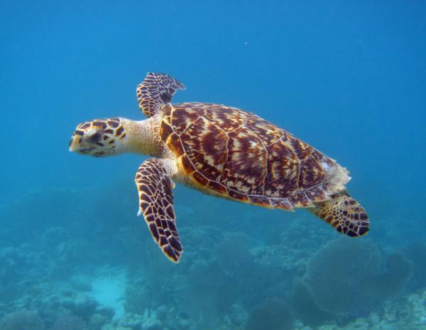 Hawksbill turtles are picky about their water temperature
