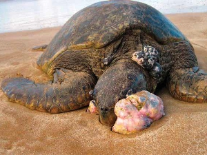 Stranded sea turtle with severe fibropapillomatosis