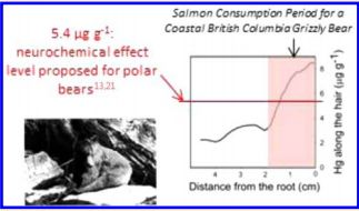 Figure 1 - A look at the levels of mercury observed in Grizzly Bear hair compared to a proposed level of neurological effects for polar bears.