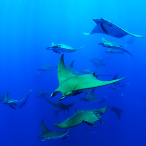 A group of Chilean devil rays.