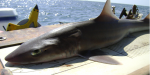 """Smooth dogfish (Mustelus canis) is a common shark species along the US eastern seaboard, long considered a """"trash fish"""" because of its high abundance and low commercial value (Source: Wikipedia.org)"""