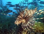 Photo Lionfish citation NOAA Archives, Bugwood.org