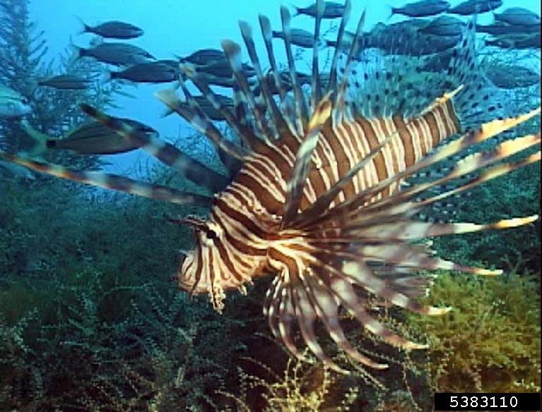 What factors influence Lionfish success in the Bahamas?