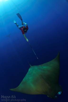 Daredevil: Chilean devil rays dive to extreme depths and escape without brain freeze
