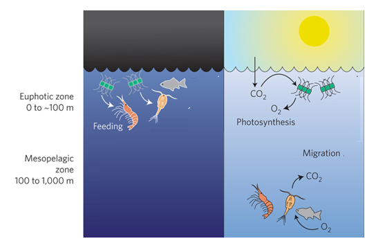 Figure 1. Open ocean zooplankton migrate from deep waters to the surface at night and return to depth during the day to avoid predators. It is hypothesized that this diel vertical migration potentially contributes to ocean mixing though it's not known to what degree. Modified from Doney and Steinberg 2013 (doi:10.1038/ngeo1872)