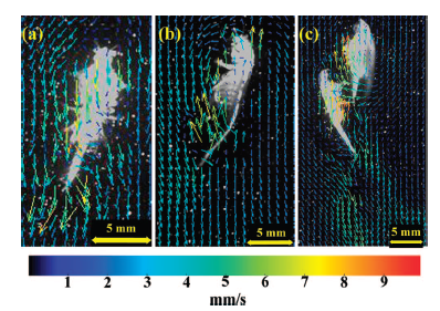 Figure 4. Examples of PIV analyses which show the resultant flow caused by zooplankton swimming. Velocity fields (superimposed colored arrows) are determined by following silver-coated glass spheres (small dots in background) with high speed cameras, which show flow velocity and direction.
