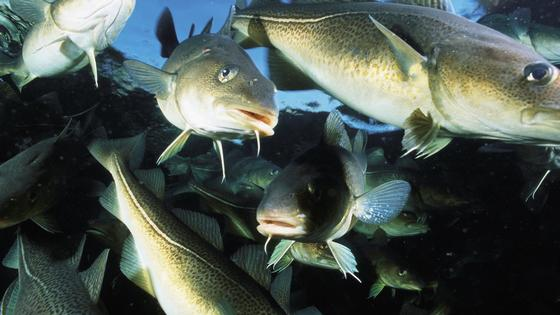Figure 3. Atlantic cod is an example of a common demersal fish present in the North Atlantic [Image from: http://www.imr.no].