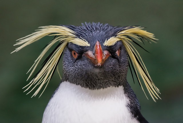 Penguins can rock their bodies without eating high trophic level prey