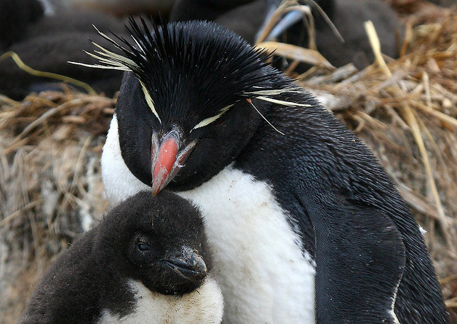 A rockhopper penguin tends to its chick (Photo Credit: Paddy Gallagher - Flickr Creative Commons)