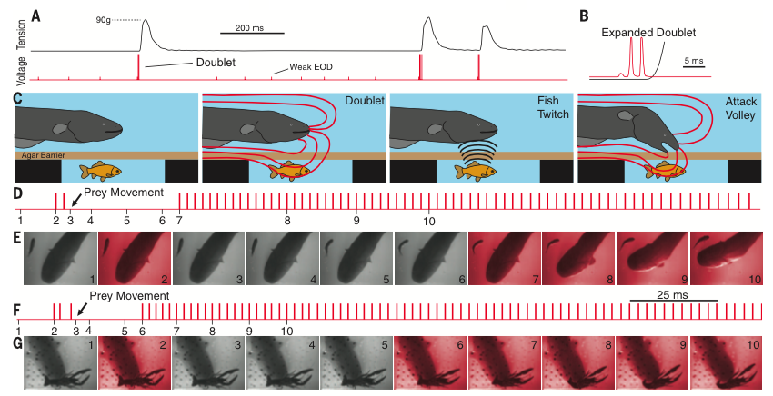 Check it before you wreck it. Eels explore agar membranes with low frequency pulses, then induce twitches via high frequency doublets, followed by a high frequency attack volley.