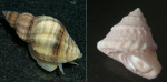 Left: Oyster drill, Urosalpinx cinerea Right: American starsnail, Lithopoma americanum