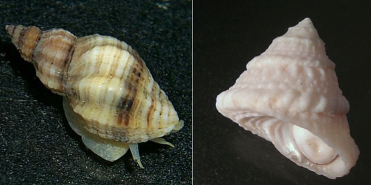 Prozac and Cons: How Marine Snails React to Antidepressants