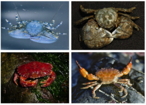 Image 2: Crabs in study. Clockwise from top left: Chocolate porcelain crab (Petrolisthes manimaculis) - credit: Dr. Jonathan Stillman, thickclaw porcelain crab (Pachycheles rudis) - credit: Dr. Jim Nestler, blackclawed crab (Lophopanopeus bellus) - credit: Dr. Thomas M. Niesen, and red rock crab (Cancer productus) - credit: Dr. Jim Nestler.