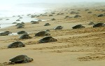 Fig 1: Female sea turtles making their ways from the open ocean to the beach to dig nests and lay their eggs (marinebio.org).