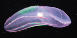 Figure 4: The bioluminescent comb jelly, Beroe cucumis, occurs at depths that can be penetrated by artificial light.