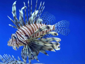 Lionfish (Pterois volitans) Photo Source: http://commons.wikimedia.org/wiki/File:Pterois_volitans.001_-_Aquarium_Finisterrae.JPG