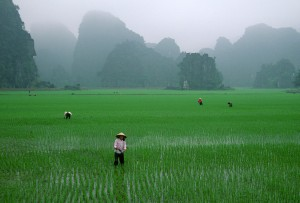 Vietnamese farmers work in rice fields during the wet season. (Photo: Insiders Asia)