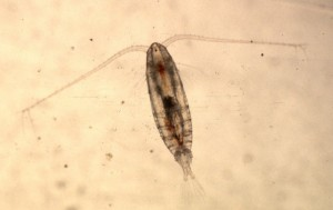Fig. 1. An image of a female copepod, Calanus finmarchicus.