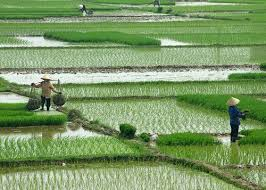 Salty Rice: Tasty Treat, or Damaging Effect of Sea Level Rise?