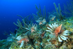 The Lionfish Invasion Photo Source: http://lionfishhunter.blogspot.com/2011/07/grand-cayman-lionfish-safari.html
