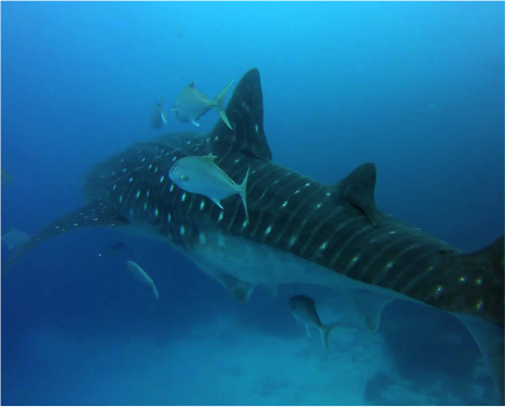 Watch out guys, pregnant whale sharks are on the loose!