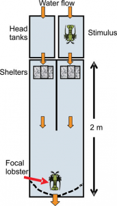 Figure 2: Schematic outline of experimental mazes used to test for response by uninfected (focal) lobsters to shelters releasing chemical cues from conspecifics in four different conditions.