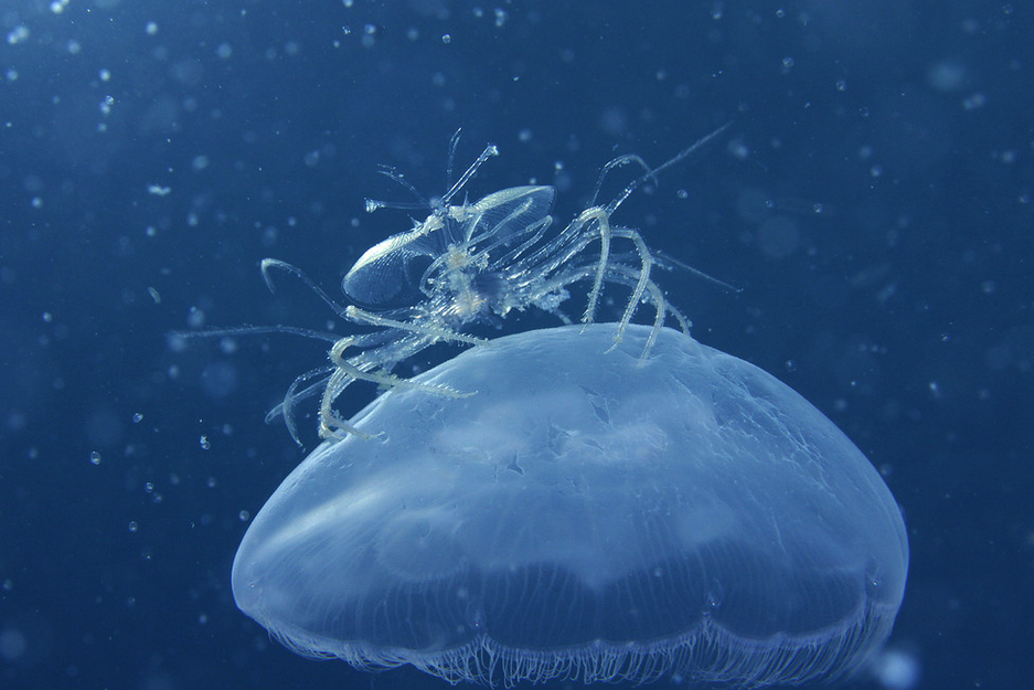 Yee-haw! This jellyfish-riding lobster has special appendages to keep clean and be carried on