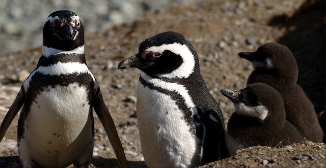 Busy penguins strive to find an energy balance.
