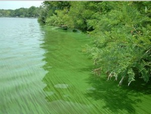 Figure 2: Example of a green harmful algal bloom in Florida's Indian River Lagoon.