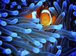 Many tropical reef fish, like this clown fish, never leave their small territory, making them relatively easy to protect with MPAs