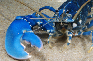 Best laid plans of lobsters and men: More disease prevalent in marine protected areas