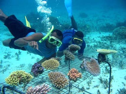 Coral Reef Restoration Through Human-Assisted Evolution