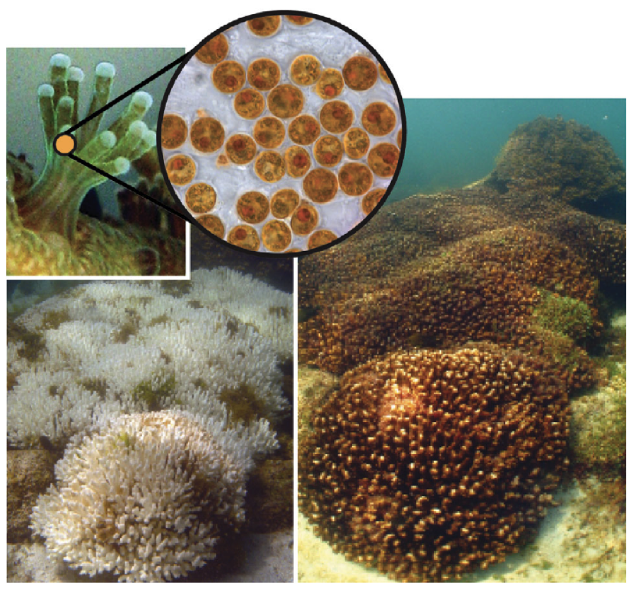 A new thermally tolerant species of algae is found!