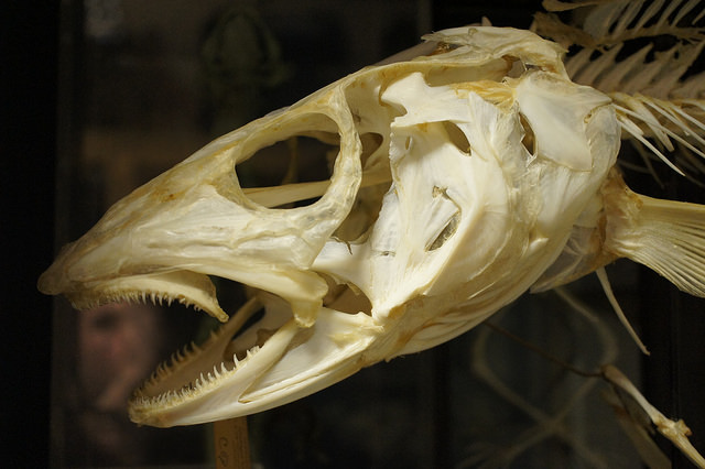 Written in bone: what ancient Pacific Cod can tell us about sea level rise and mercury