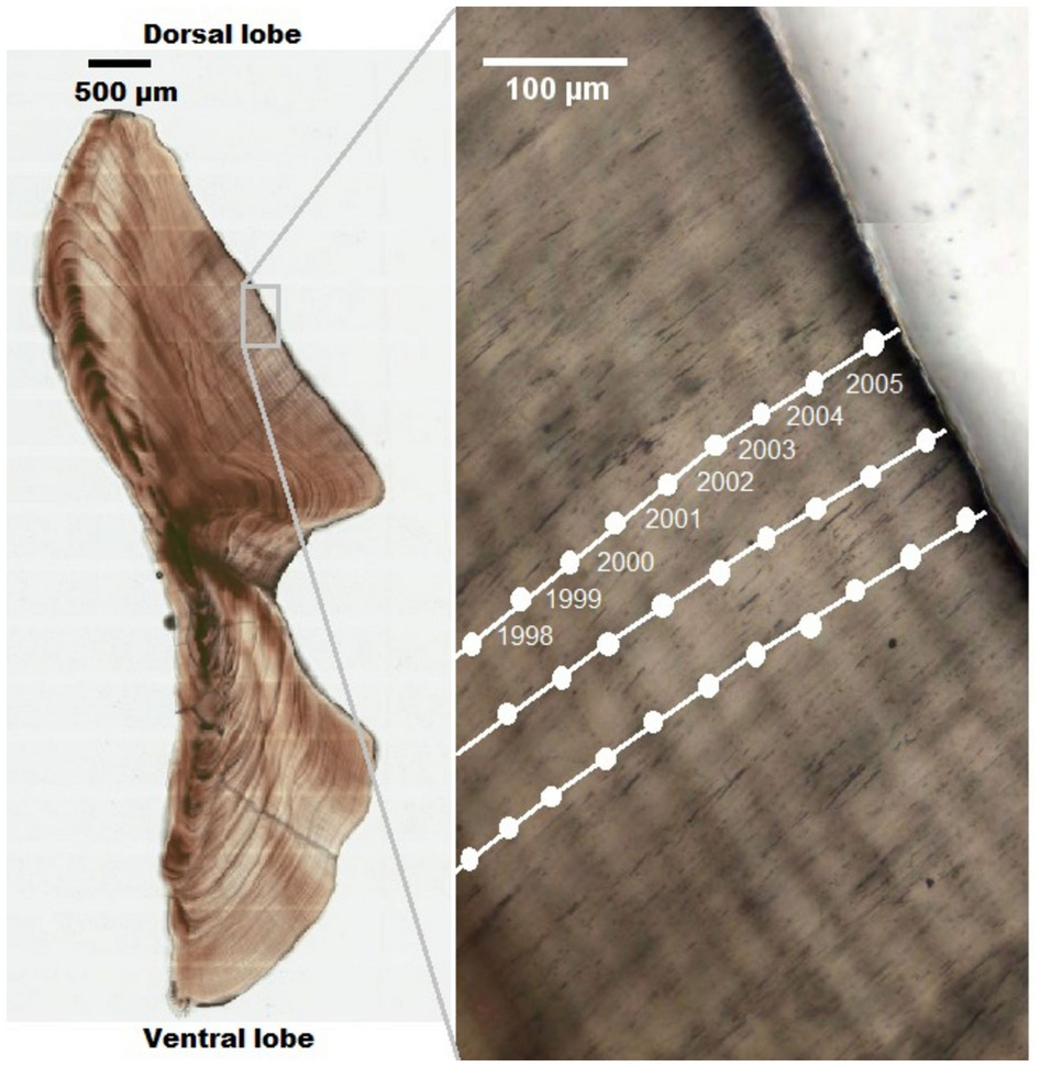 Figure 1. Transmitted light image of a sectioned otolith from a 32-year old hapuku (Nguyen et al. 2015).  Growth ring years marked off in the right panel.