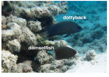 Brown dottyback