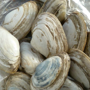 Figure 1: Soft-shell clams (Mya arenaria). Image from Stokstad, Erik (2015).  Infectious cancer found in clams. Science. 348:6231. p.170.
