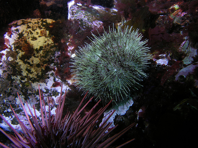 Sea urchins and their pathogens: a relationship that's heating up.