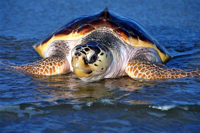 Technology for Turtles: TurtleWatch Program to Protect Sea Turtles and Assist Fishermen